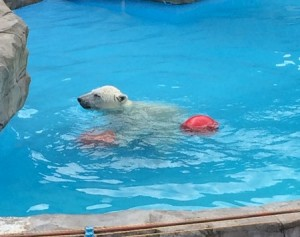 円山動物園ホッキョクグマ